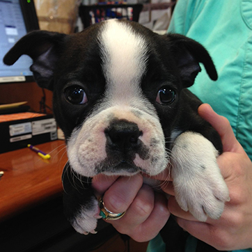 Boston Terrier Puppy @ 8 weeks old