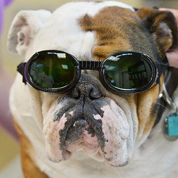 Bulldog with Goggles Receiving Laser Therapy